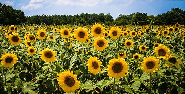 Field of Sunflowers by Penny Lisowski. Waited years to find a field of sunflowers like this. It was here in Georgia.