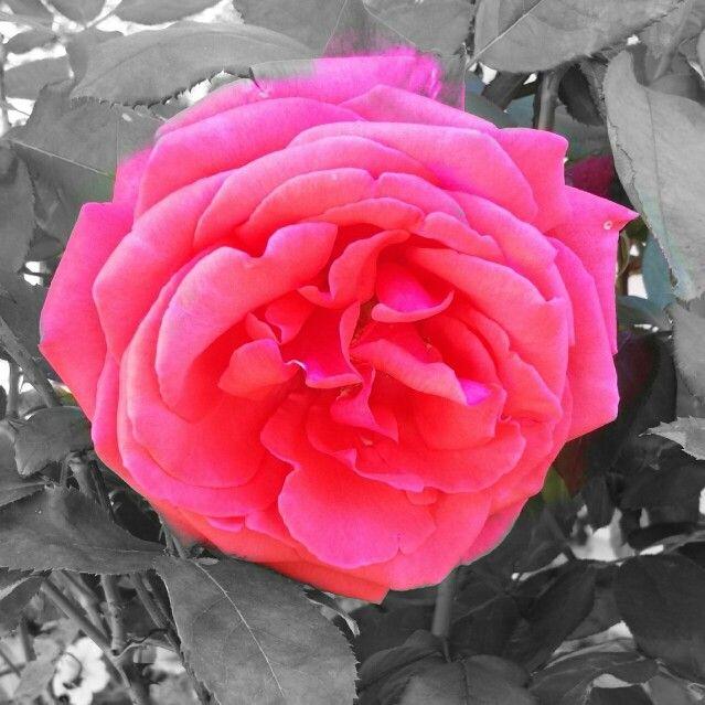 Last Fall Rose