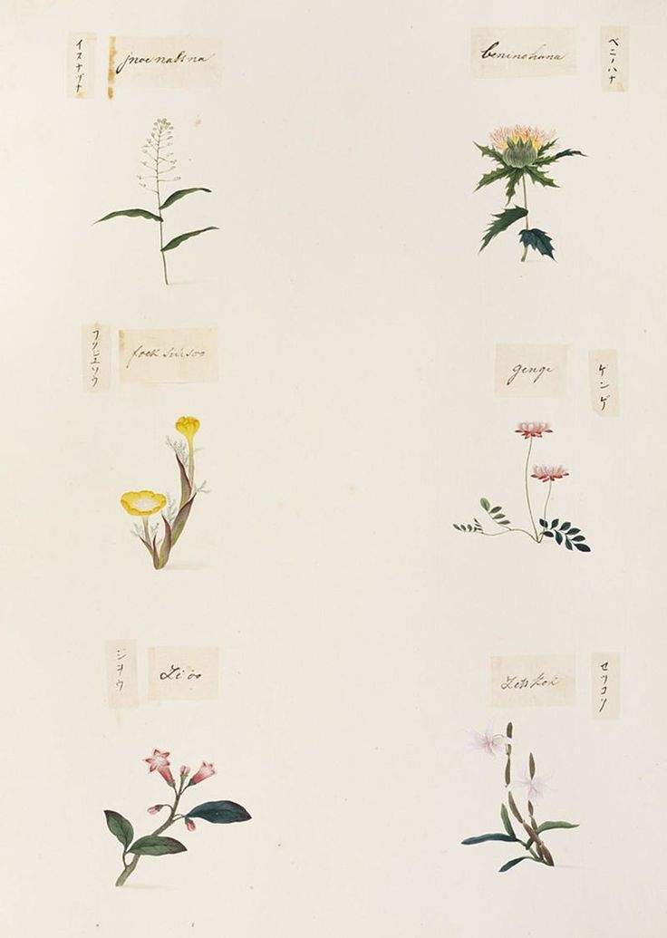 Naturalis Biodiversity Center - RMNH.ART.342 - Dendrobium moniliforme - Rehmannia glutinosa - Adonis amurensis - Carthamus tinctorius - Draba nemorosa - Kawahara Keiga - 1823 - 1829 - Siebold Collection - pencil drawing - water colour.jpeg
