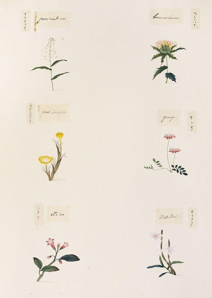 Naturalis Biodiversity Center - RMNH.ART.342 - Dendrobium moniliforme - Rehmannia glutinosa - Adonis amurensis - Carthamus tinctorius - Draba nemorosa - Kawahara Keiga - 1823 - 1829 - Siebold Collection - pencil drawing - water colour.jpeg
