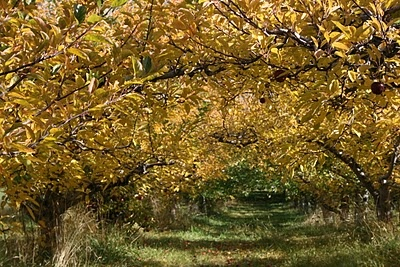 apple trees late October
