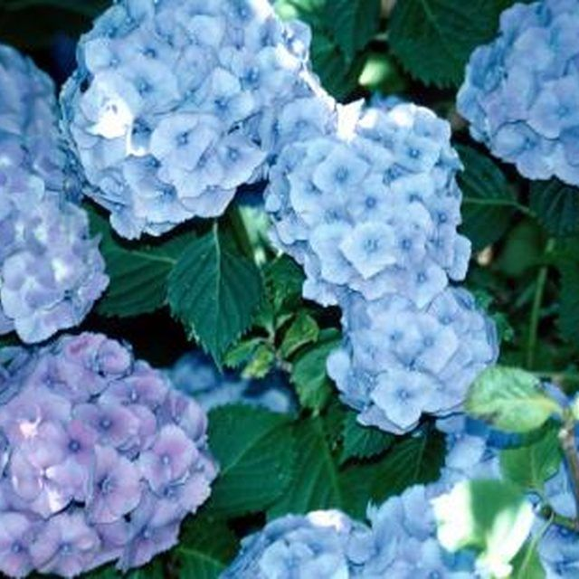 How to grow hydrangeas in containers hydrangeas shallow and roots - Care potted hydrangea ...