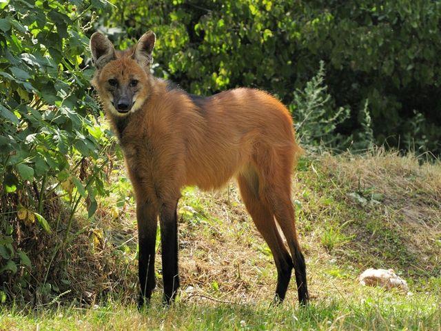 Weird Special Animals - Maned Wolf (Manenwolf)