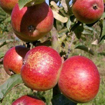 Vintage Dabinett Apple Tree Red Fruit Trees