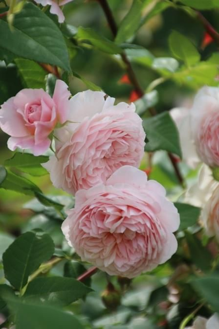 English Shrub Rose: Rosa 'William Morris' (U.K., 1998)