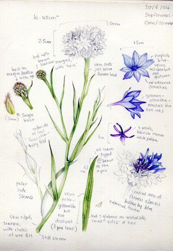 Cornflower botanical sketchbook study by Lizzie Harper