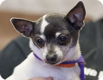 Pictures of Bonnet a Chihuahua for adoption in Colorado Springs, CO who needs a loving home.