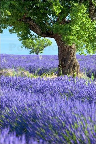 Lonely tree in lavender field, Provence, France | Brian Jannsen Photography ᘡղbᘠ