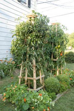 Super sturdy Tomato Tower.