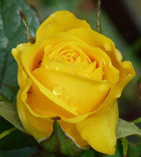 100pcs Yellow Rose Seeds Potted Yellow Rose Garden | Rudelyn's Sari Sari Store