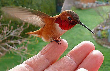 Red-breasted hummingbirds fed by hand in Vancouver Island, Canada
