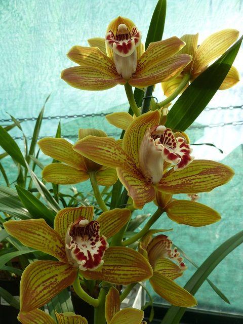 Cymbidium Gorm Flor