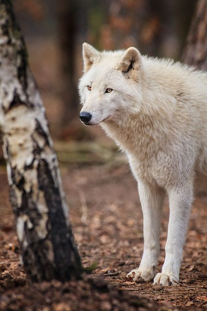Tundra Wolf - a very pretty animal!