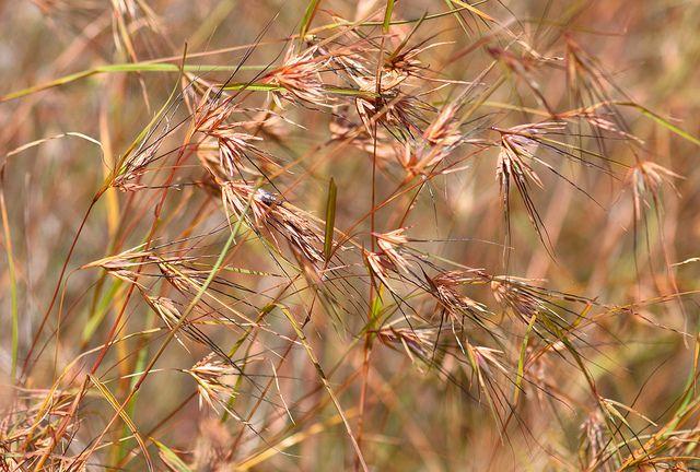 Themeda triandra (Kangaroo Grass) | Flickr