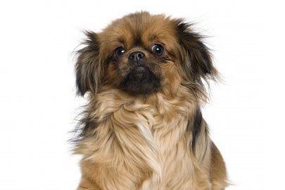 Tibetan Spaniel: Adorable Animals, Spaniel My Boyfriend, Pets, Tibetan Spaniel, Pekingese Dogs, Dogs Cats, Pekingnese Dogs, Spaniel The Dog
