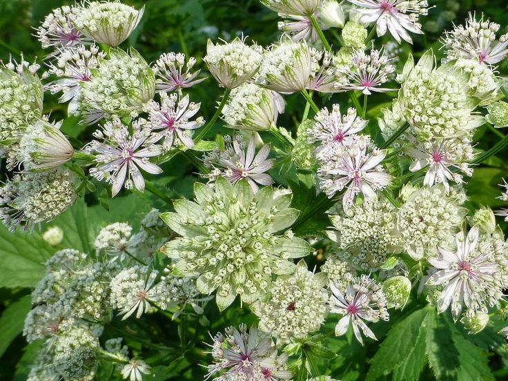 Saatgut Samen Große Sterndolde - Astrantia major - Pflanzen Stauden kaufen