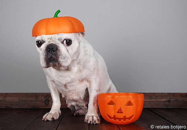 """I'm Gettin' to Old for This"". French Bulldog as a pumpkin."