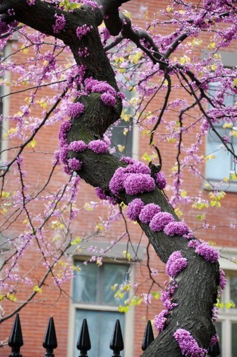 Red bud tree in the spring Our ability to perceive quality in nature begins, as in art, with the  pretty. It expands through successive stages of the beautiful to values  as yet uncaptured by language.~Aldo Leopold -A Sand County Almanac