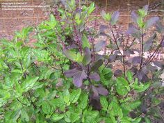Holy Basil 'Red and Green,' Ocimum sanctum