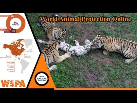 Big tigger ***  protection and care of rare animals ***  animals attacki...