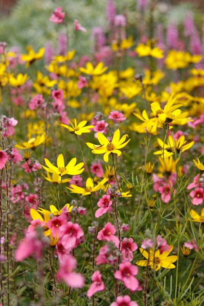 flowers for bees; Helenium 'Waltraut',  Coreopsis verticillata 'Zagreb' and Diascia fetcaniensis 'Daydream'.
