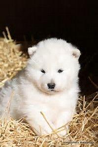White Alaskan Malamute Puppies