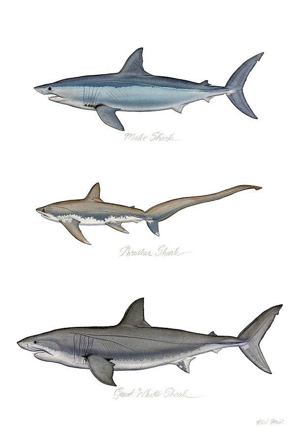 Sharks Shark Painting Shark Illustration Shark Art