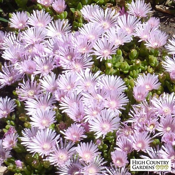 Best 25 Ice Plant Ideas On Pinterest Perennial Ground