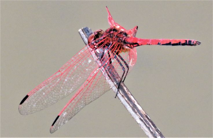 Red Veined Dropwing