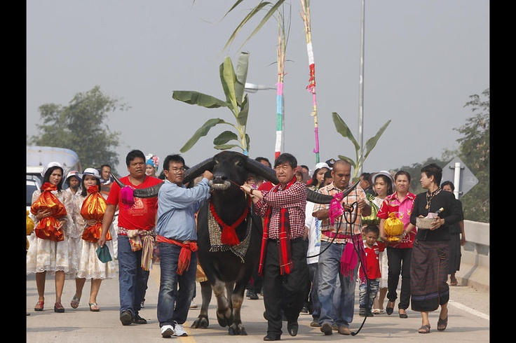 Water buffalo wedding in Thais province of Ayutthaya.  The prettiest are wed by arranged marriages with intentions of creating quality stock.