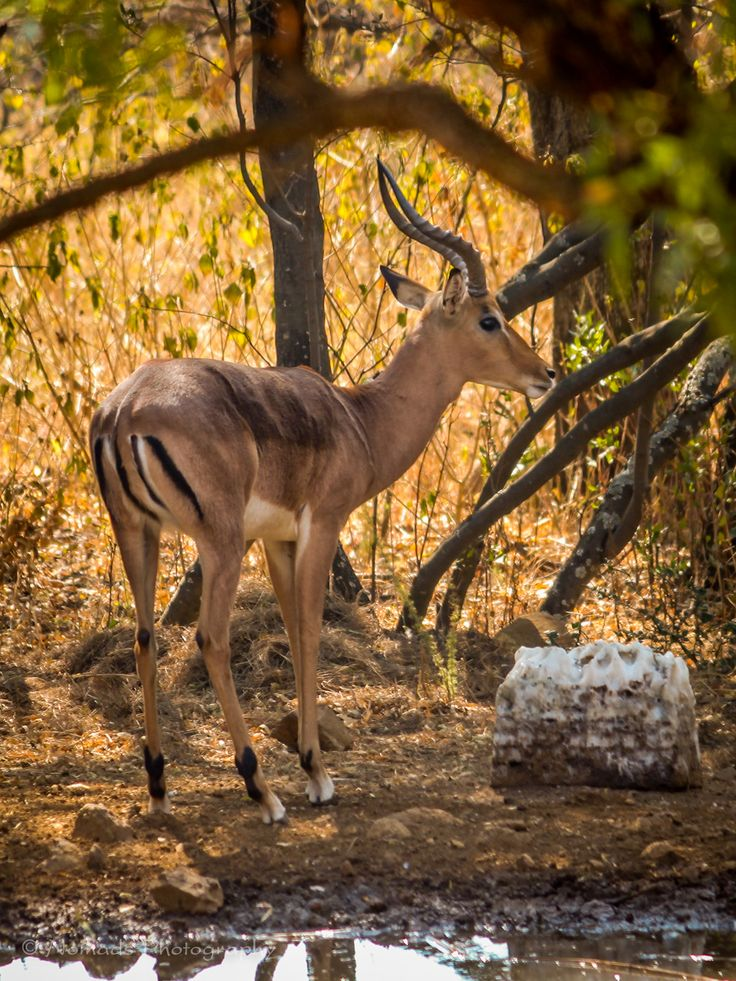Alert - One of the more common antelope of the African savannah, Impala have been referred to as the Macdonalds of the bush as they are of the most common prey for predators. The distinction markings on the rump also resemble the company logo to a degree.