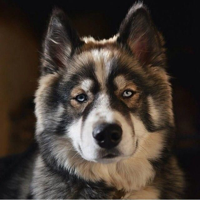 Siberian Husky Dogs And Kids Siberianhuskytraveldiaries