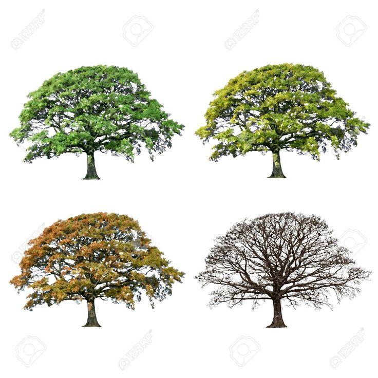 oak tree seasons …