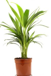 Cast Iron Plant - practically thrives on neglect and low sunlight. Plus it's non-toxic to cats!