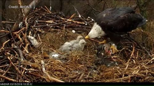 Live cam shows baby bald eagle hatching at the National... #EagleCam: Live cam shows baby bald eagle hatching at the National… #EagleCam