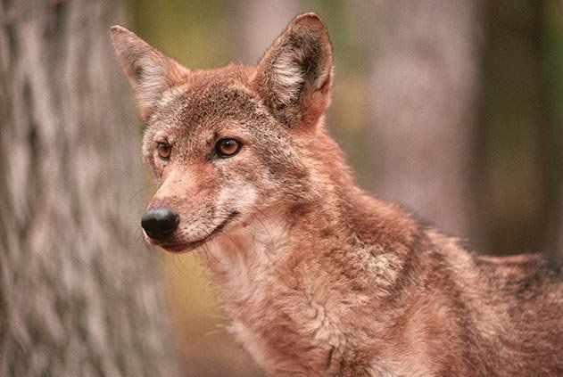 Red wolf or Canis Rufus. Endangered.