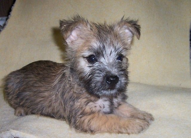 Cairn terrier pup...so cute. Tucker used to be this young!