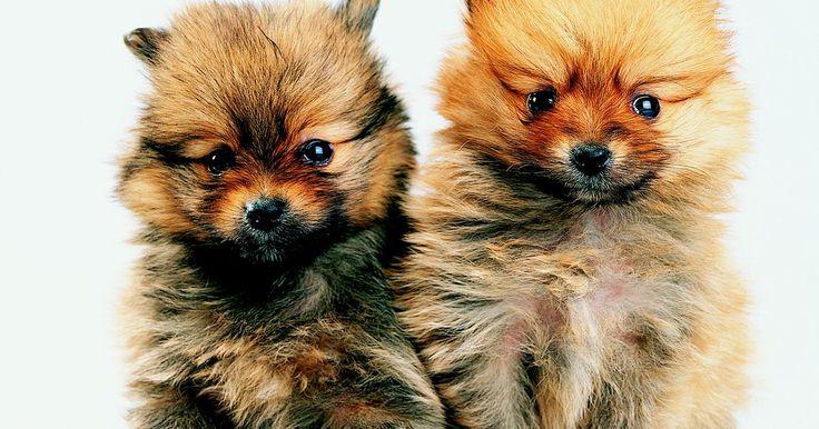"""Como peinar a un Pomeranian con un corte tipo oso de peluche. El Pomeranian es un perro de juguete enérgico con una apariencia esponjosa. Los Pomeranian tienen una capa gruesa doble que requiere un cepillado diario. Si no puedes tomarte el tiempo para realizar su peinado puedes realizarle el """"corte de oso de peluche"""", también conocido como el """"corte cachorro"""". Este corte conserva el aspecto suave y esponjoso ..."""