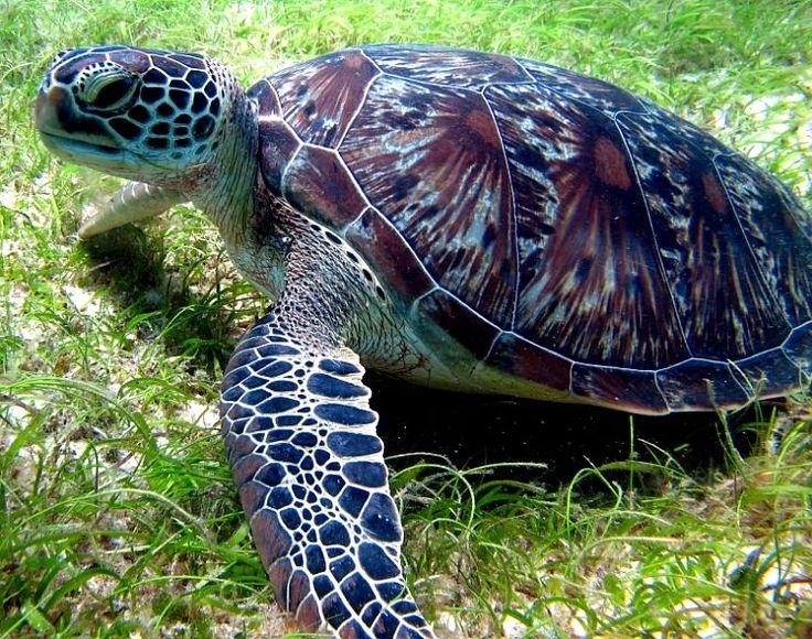 Save endangered Green Sea Turtles.