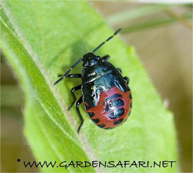Zicrona caerulea http://www.gardensafari.net/english/shieldbugs.htm#