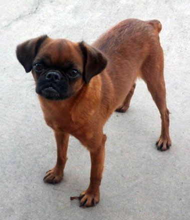 National Dog Show Brussels Griffon >> 8 best Smooth Coat Brussels Griffons images on Pinterest | Smooth, Brussels griffon and Little dogs