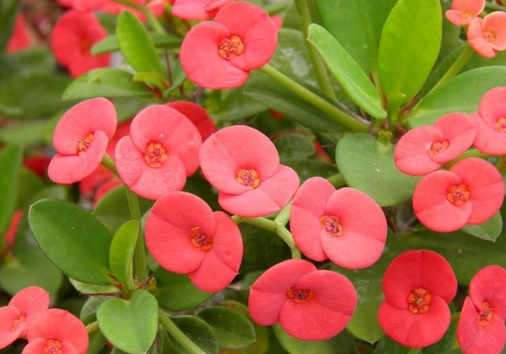 Euphorbia milii,Crown of Thorns, Christ Plant, Christ Thorn, Red flowers, Drought tolerant perennial, Deer resistant perennial, rabbit resistant perennial