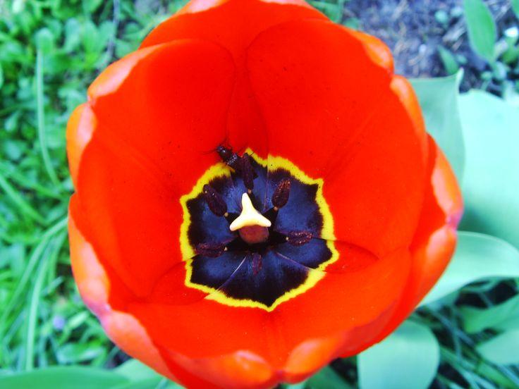 Tulip with black centre