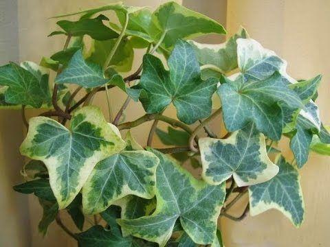 Плющ или хедера - неприхотливое ампельное декоративно лиственное растение