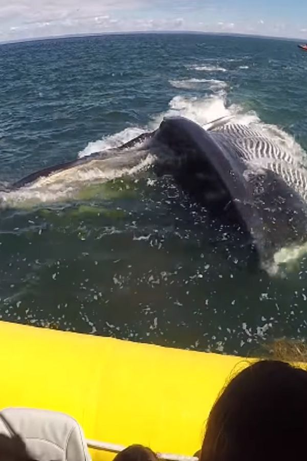 A Blue Whale Dispenses With Tourist Boat! (VIDEO)