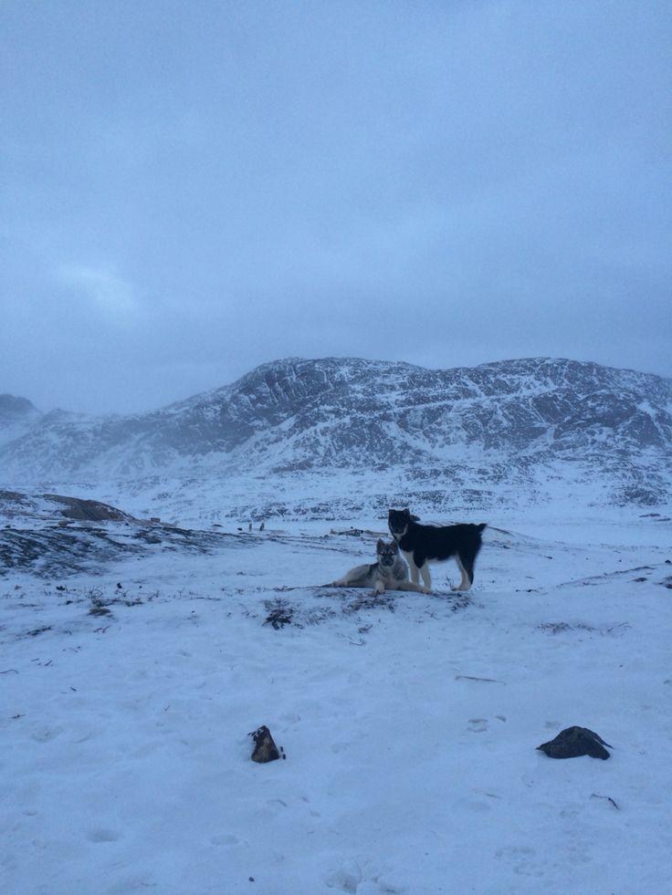 Sledgedogs Sisimiut Greenland