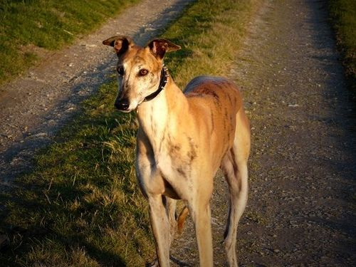 Tens of thousands of Greyhounds are cruelly hung to death every year at the end of the hunting season in Spain. Shockingly, these blatant acts of cruelty are not illegal in Spain, as the law only affords protection to animals considered to be pets. Urge the government of Spain to create laws that protect the welfare of all animals.