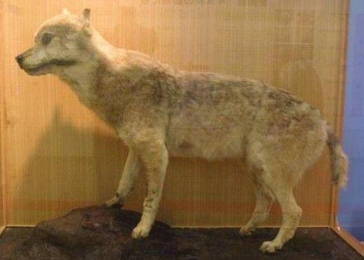 A stuffed Honshu wolf extinct in 1905 in Ueno zoo.