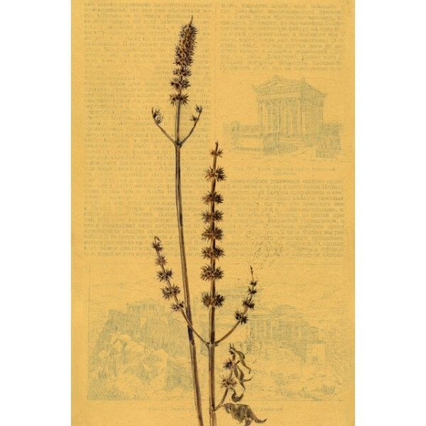 Wilting. Motherwort - Postcards, Pages of an old encyclopedia