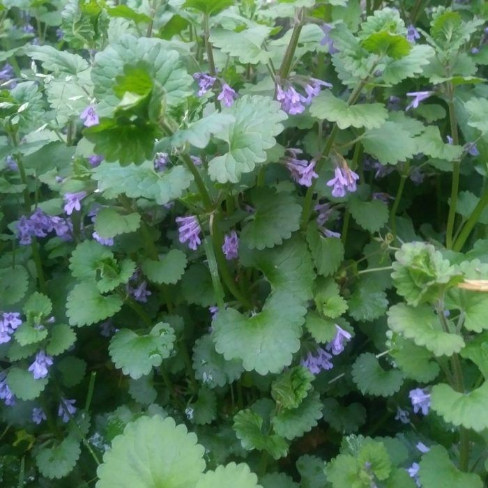 8 Best Herbicide For Creeping Charlie 2020 Buyer S Guide In 2020 Wild Edibles Ivy Plants Edible Plants